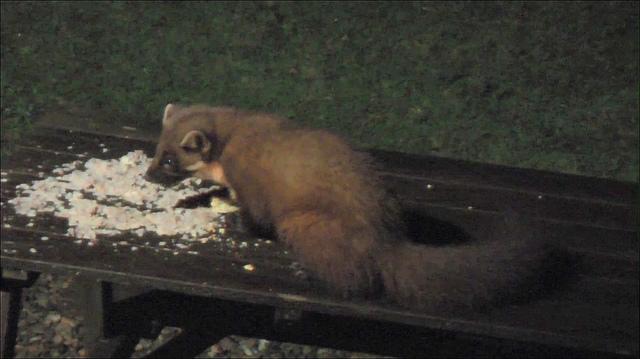 Potrava kuny lesní